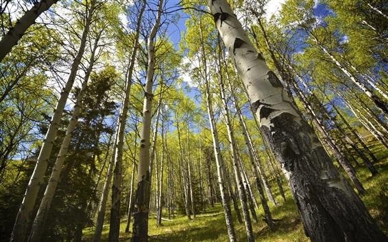 Fond d'écran Été, forêt de bouleaux