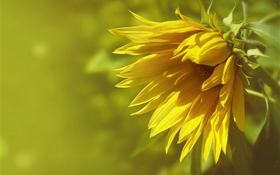 Wallpaper Sunflower close-up, blurry background