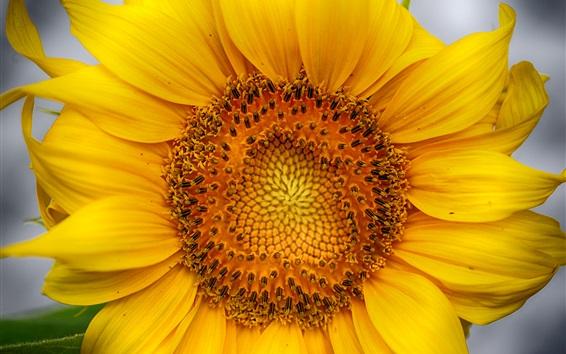 Wallpaper Sunflower macro photography, yellow petals, pistil