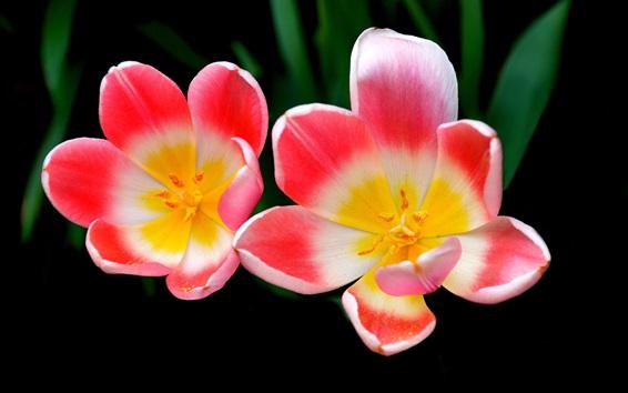 Fond d'écran Trois couleurs pétales, tulipes, macro, photographie