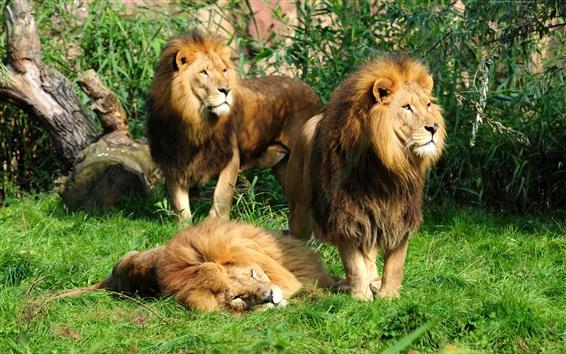 Wallpaper Three lions on grass