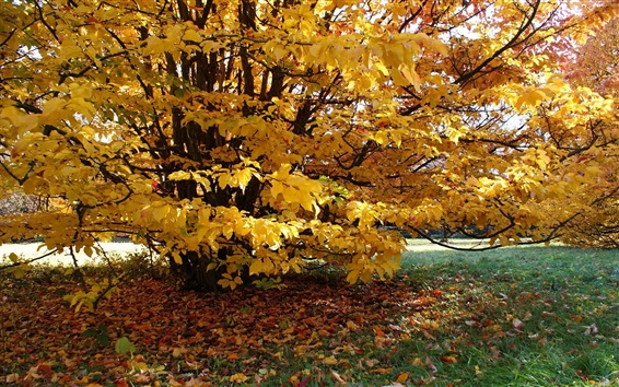Wallpaper Tree, yellow leaves, autumn