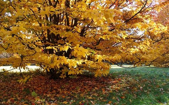 배경 화면 나무, 황색 단풍, 가을