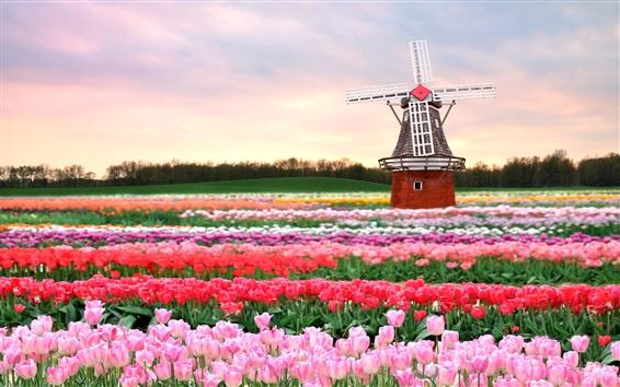 Обои Поле тюльпанов, ветряная мельница, Голландия