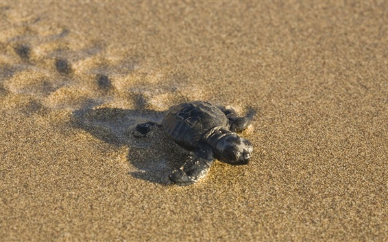 Papéis de Parede Turtle baby on the beach
