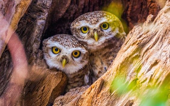 Обои Две совы, дерево