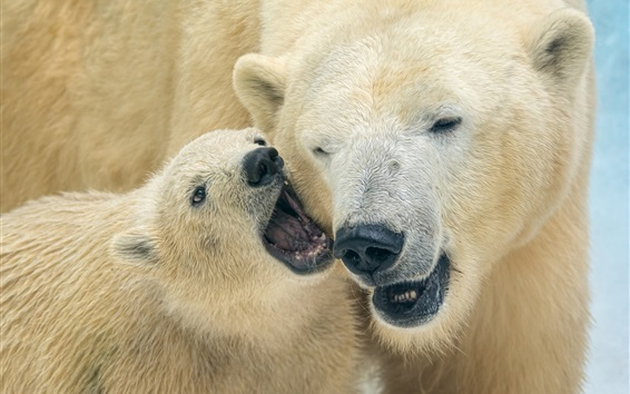 Wallpaper Two polar bears, mother and cub