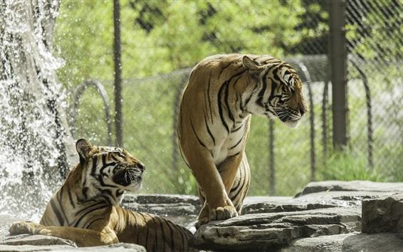 Обои Два тигра, зоопарк, всплеск воды