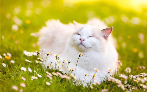 Wallpaper White cat feeling the fresh air