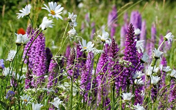 Fond d'écran Fleurs sauvages à la camomille blanche et violet