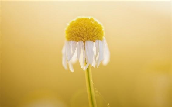 壁紙 白いデイジーの花マクロ写真、ボケ