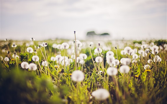 Wallpaper White dandelions flowers, blurry background