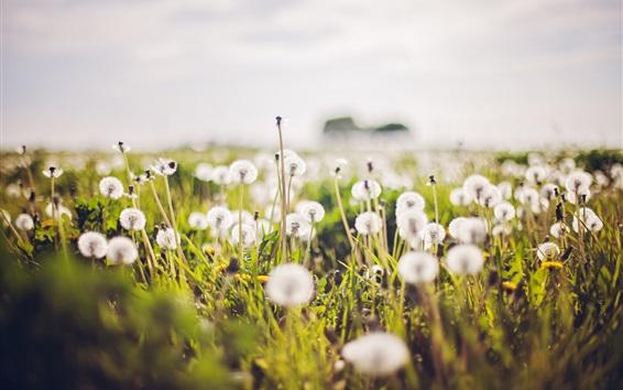 Обои Белые цветы одуванчиков, размытый фон