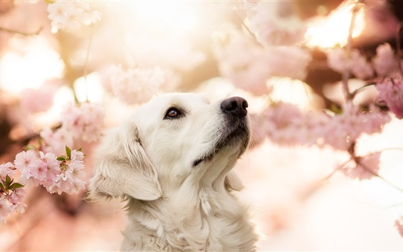 Papéis de Parede White dog look at sakura