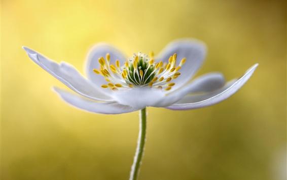 Fond d'écran Photographie macro de fleurs blanches, pétales, étamines