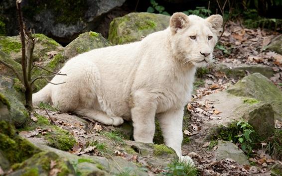 Wallpaper White lion cub