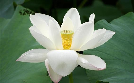 배경 화면 백색 로터스, 꽃잎, 녹색 잎