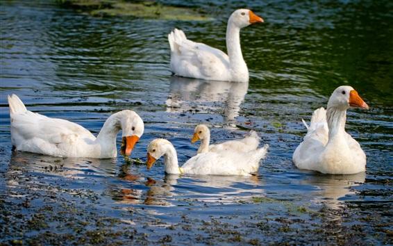 Papéis de Parede Cisne branco, lagoa