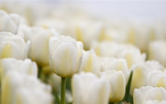 Wallpaper White tulips flowers close-up