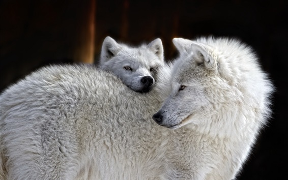 Wallpaper White wolves family