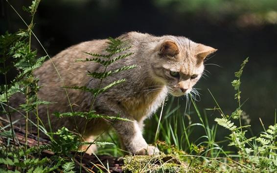 Обои Дикая кошка, охотник, трава