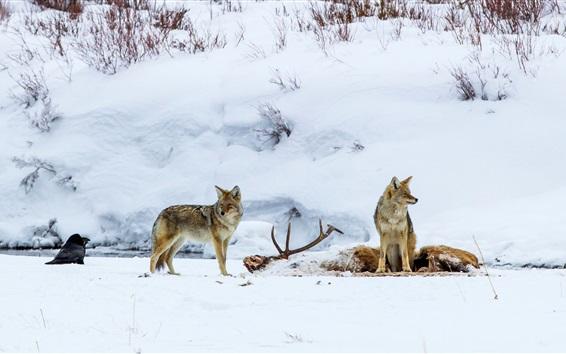 Wallpaper Wolf, bird, snow, winter