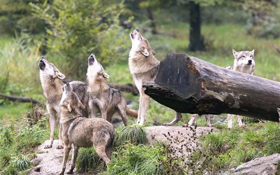 Papéis de Parede Wolves howl