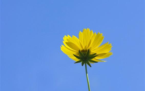 배경 화면 노란색 kosmeya 꽃, 푸른 하늘