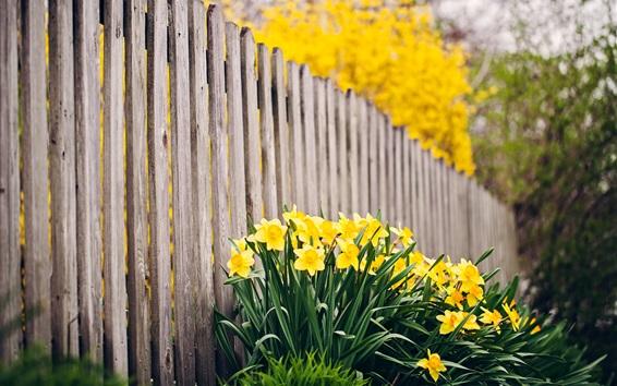 Обои Желтый нарцисс, забор