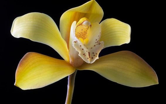 Обои Желтые лепестки орхидеи крупным планом, черный фон