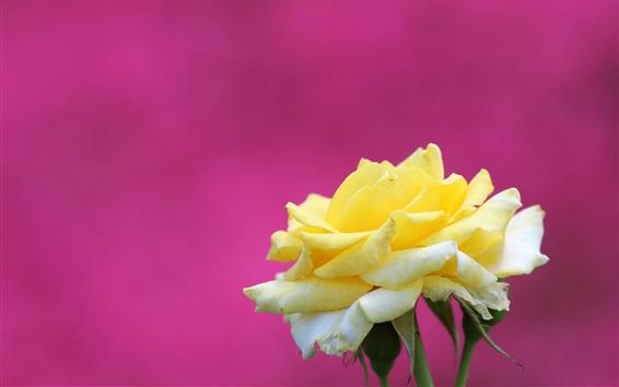 Papéis de Parede Rosa amarela, fundo roxo