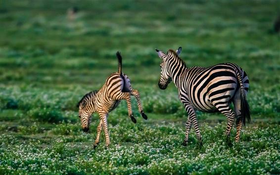 Papéis de Parede Zebra, grama, flores