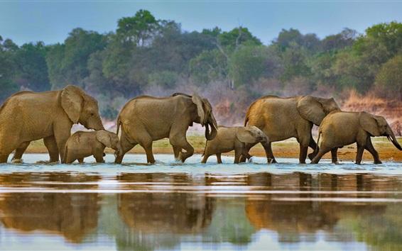 Wallpaper Africa, elephants, walk, river, Luangwa, Zambia