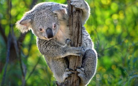 Papéis de Parede Austrália, bonito koala, marsupiais