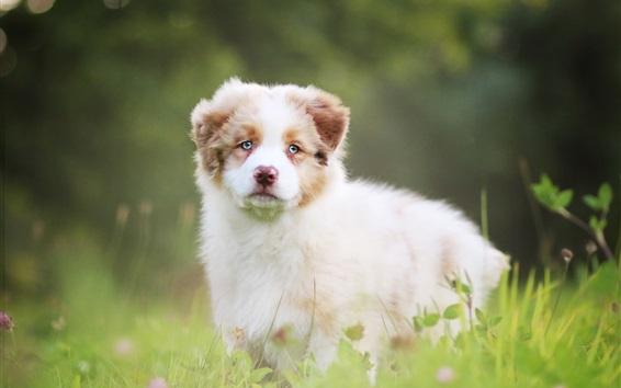 Papéis de Parede Pastor australiano, cão fofo, grama, bokeh