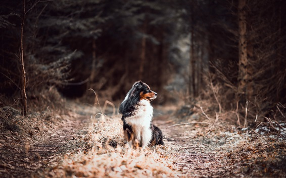 Wallpaper Australian shepherd, forest, dog