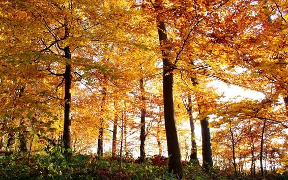 Fond d'écran Automne, forêt, arbres, feuilles jaunes