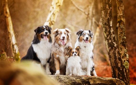 Papéis de Parede Outono, quatro cães, floresta