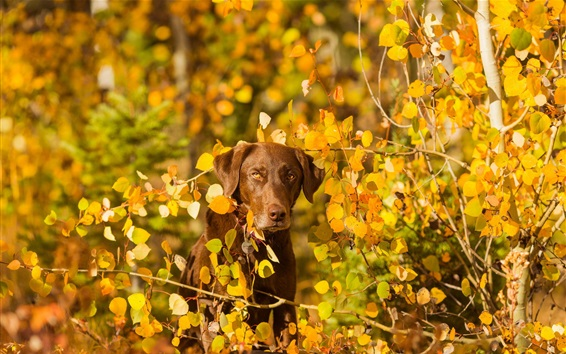 Wallpaper Autumn, yellow leaves, dog