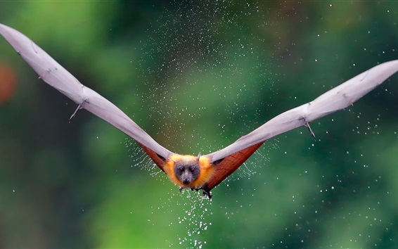 배경 화면 박쥐 비행, 날개