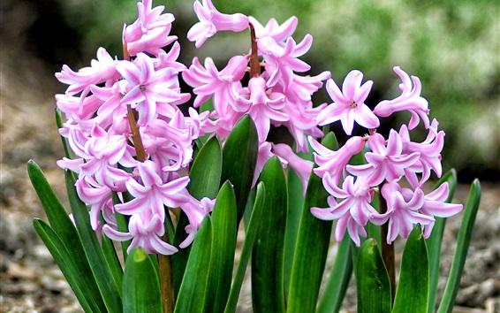 Wallpaper Beautiful pink hyacinths, leaves, flowers