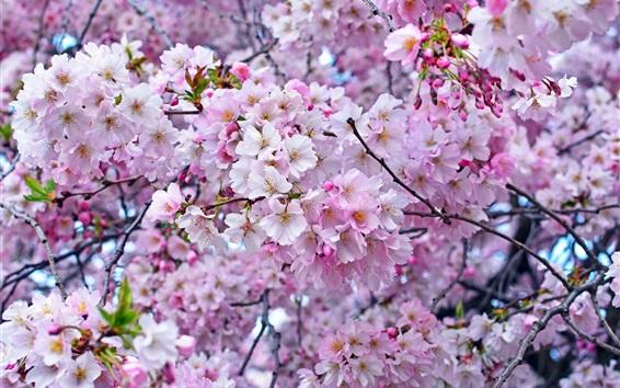 Wallpaper Beautiful sakura, spring, tree
