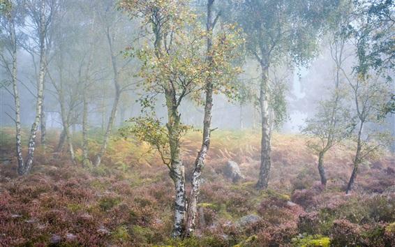 Fond d'écran Bouleau, forêt, fleurs, brouillard