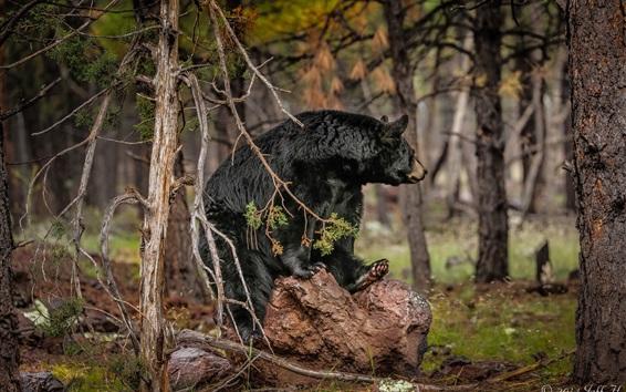Fond d'écran Ours noir dans la forêt