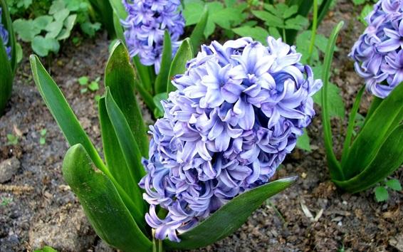 Wallpaper Blue hyacinth flowers, field