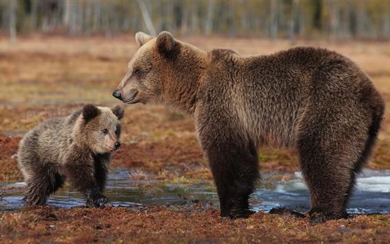 Wallpaper Brown bears, cub, water
