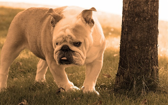 Wallpaper Bulldog walk on grass