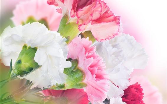 배경 화면 카네이션, 흰색과 핑크색 꽃