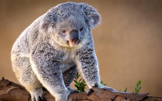 Papéis de Parede Koala encantador
