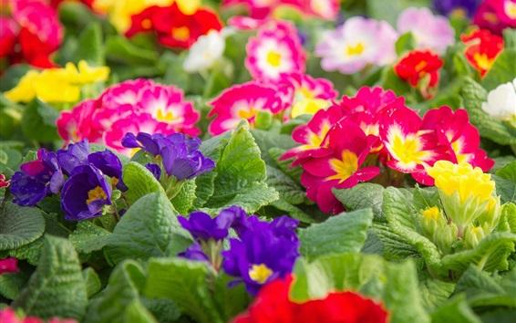 Fond d'écran Primrose colorée, photographie de fleurs